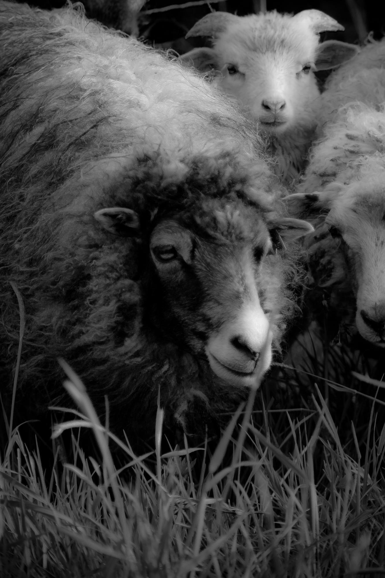 Schaf knipst Schafe